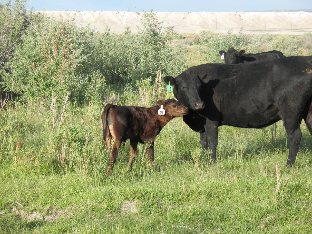 cow-calf2